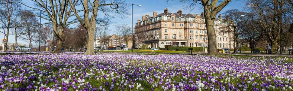 Spring crocuses, The Stray, Harrogate