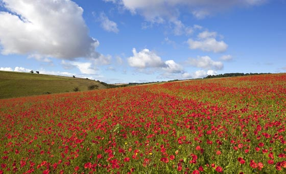 Poppy Field in the Yorkshire Wolds